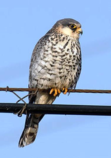 Falcon Female