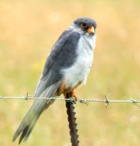 Falcon Male