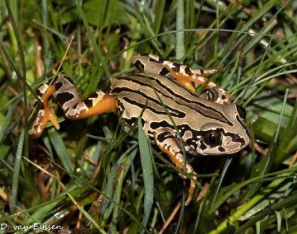 Rattling Frog- Semnodactylus wealii, photo courtesy of Darren van Eyssen