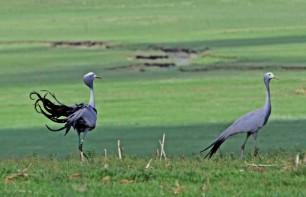 Blue cranes on a Wakkerstroom farm small